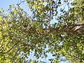 Populus balsamifera (5002377437).jpg