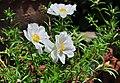 Portulaca grandiflora, Burdwan, 30032014 (10).jpg