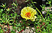 Portulaca grandiflora, Burdwan, 30032014 (5).jpg