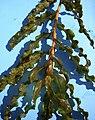 Potamogeton crispus (8405383322) (cropped).jpg
