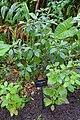 Pouteria campechiana - McKee Botanical Garden - Vero Beach, Florida - DSC03081.jpg
