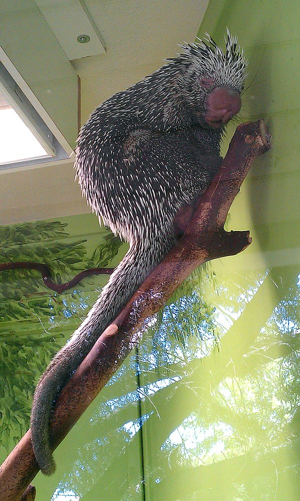 The average litter size of a Brazilian porcupine is 1