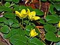Primulaceae - Lysimachia nummularia (8304680886).jpg