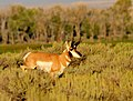 Pronghorn Buck Seedskadee National Wildlife Refuge 02 (15046076012).jpg