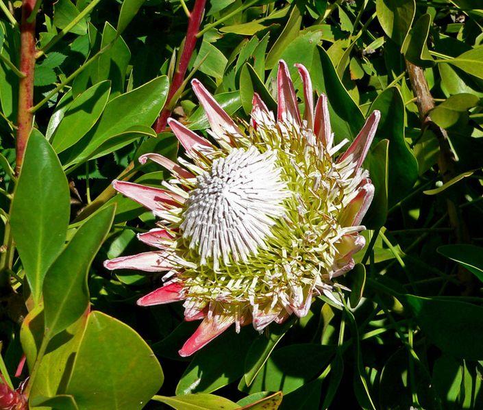 File:Protea cynaroides 1.jpg