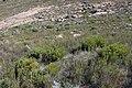 Protea namaquana mr fab iNat37427456d.jpg