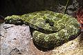 Protobothrops mangshanensis mang pitviper LA zoo side.jpg