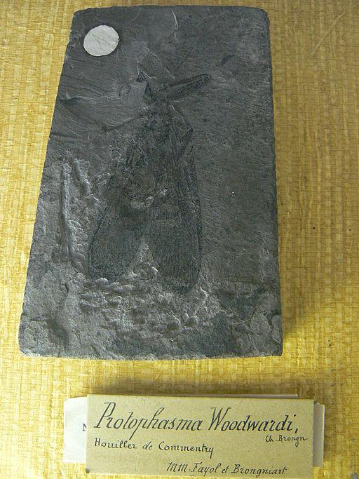 Protophasma woodwardi