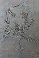 Protornis glaronensis.JPG