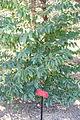Prunus lusitanica - Jardín Botánico de Barcelona - Barcelona, Spain - DSC09204.JPG