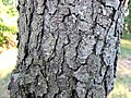 Prunus serotina bark, Missouri.jpg
