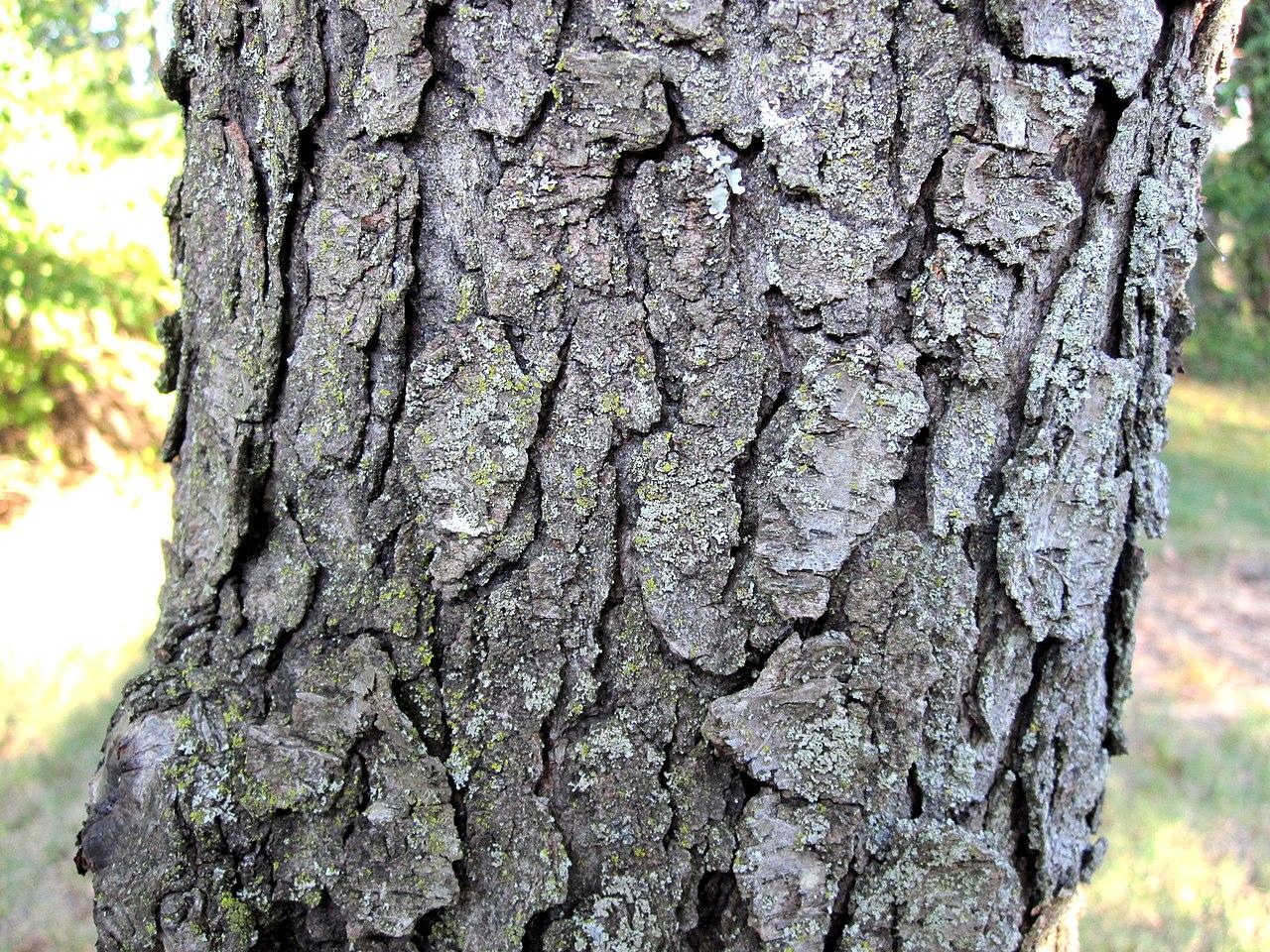 File:Prunus serotina b... What Prunus Serotina Bark Look Like