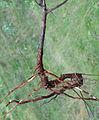 Prunus serotina kz2.jpg