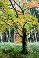Prunus xY JPG1A.jpg