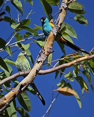 Hooded parrot - A pair in the Northern Territory, Australia