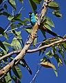 Psephotus dissimilis -Northern Territory, Australia -pair-8.jpg