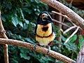 Pteroglossus torquatus -Macaw Mountain Bird Park -8c.jpg