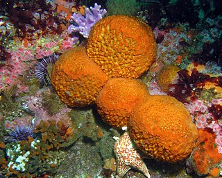<i>Tethya</i> genus of sponges