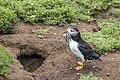 Puffin (Fratercula arctica) outside burrow.jpg