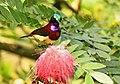 Purple-rumped Sunbird AMSM0046.jpg
