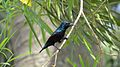 Purple rumped sunbird (মৌটুসি).jpg