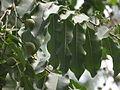 Putranjiva roxburghii 02.JPG