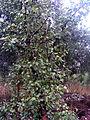 Pyrus bourgaeana Habitus SolanadelPino.jpg