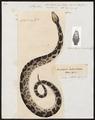 Python bivittatus - 1700-1880 - Print - Iconographia Zoologica - Special Collections University of Amsterdam - UBA01 IZ11800223.tif