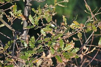 Quercus faginea - Image: Quercus faginea Aldeia Nova