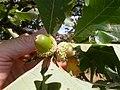Quercus macrocarpa (5108085936).jpg