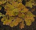 Quercus robur 5 RF.jpg