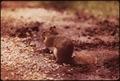 RED SQUIRREL (TAMIASCIURUS HUDSONICUS) IN THE ADIRONDACK FOREST PRESERVE - NARA - 554597.tif