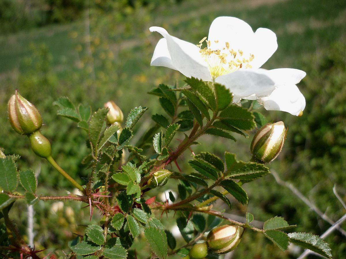 Rosa spinosissima - Wikimedia Commons