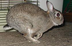 الارنب الجميل 250px-Rabbit_23_Mar_2005
