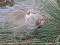 Ragondin (Myocastor coypus) (01).jpg