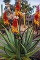 Rainbow lorikeet and Aloe sp Brisbane Botanic Gardens Mt Coot-tha IMGP3979.jpg