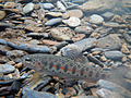 Rainbow trout juvenile in stream.jpg