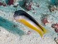 Raja dottyback (Pseudochromis ammeri) (33461660168).jpg