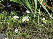 Ranunculus circinatus LC0078.jpg