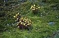 Ranunculus sulphureus 01(js), Myggbukta (Greenland).jpg