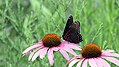 Red-spotted Purple Butterfly (28411387260).jpg