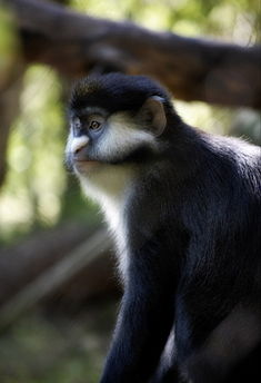 Red-tailed monkey profile.jpg