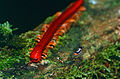 Red Millipede (Trachelomegalus modestior) (14256418385).jpg