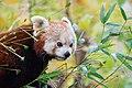 Red Panda (24677310228).jpg