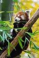 Red Panda (37661578325).jpg