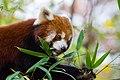 Red Panda (37661805265).jpg