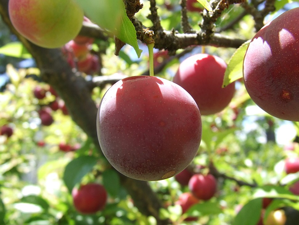 Red Plums on tree