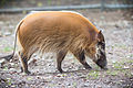 Red River Hog Smelling (22008101555).jpg