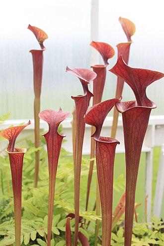 Sarracenia flava - Red Sarracenia flava