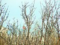 Redpoll Hides in the Bushes (8601450078).jpg